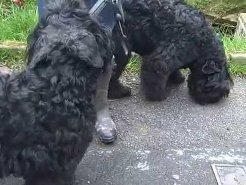 National Bouvier Des Flandres Club walk in the Spring air