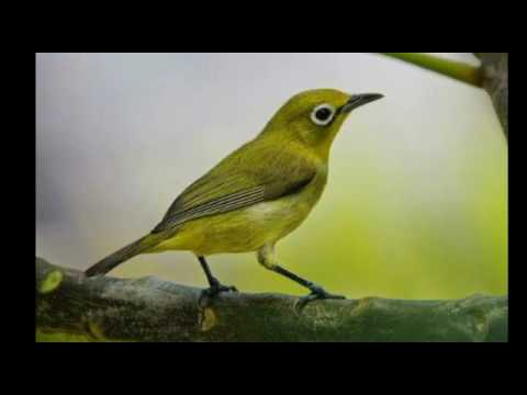 Terapi Burung Pleci Terbaru Agar Cepat Gacor