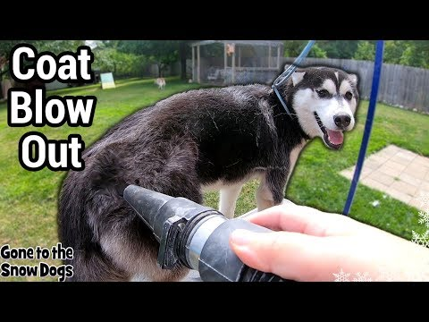 Husky Puppy First Time Grooming and Coat Blow | Do Huskies Shed?