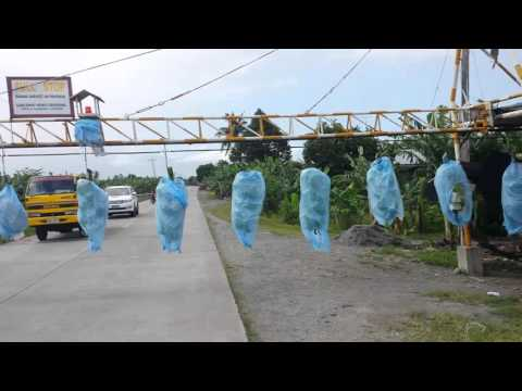 Banana Conveyor with the Philippines Expat
