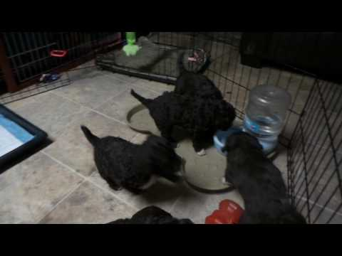 4 week old Portuguese Water Dog Puppies
