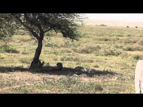 Safari in the Serengeti and Ngorongoro Conservation Area February 2013