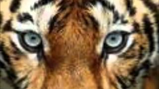 Eye of the Tiger Survivor MP3 Video HD/HQ