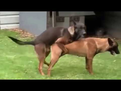 mating close dogs hard animals funny