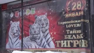 В Волгограде раскроют тайны белых тигров(Рекордсменка бобриха Лавруша, бенгальский тигр Амур с уникальным номером и многие другие животные-звезды..., 2017-01-26T11:53:02.000Z)