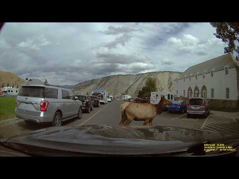 Yellowstone elk in Mammoth square