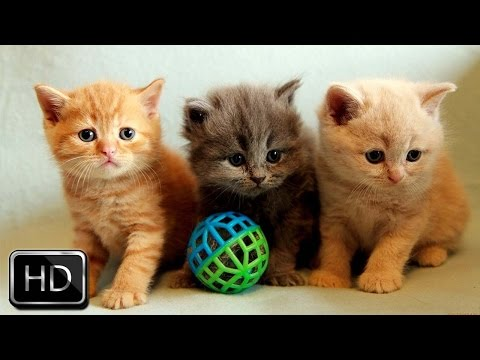 Cute kittens playing together - 3 cute kittens playing together | too cute!
