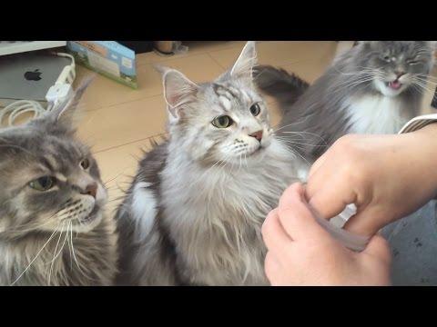 メインクーンおやつの時間 1 光太・星太・Mio Maine Coon Cat.  Time snack 1.