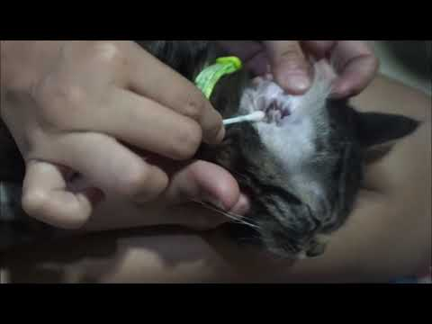 Cleaning EARMITES of my kittens
