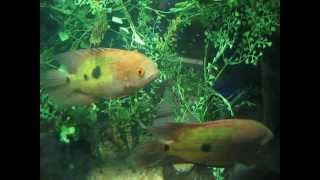 A South American Cichlid Jewel - Hypselecara temporalis