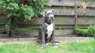 Blue american staffordshire terrier Patser the Movie part 3