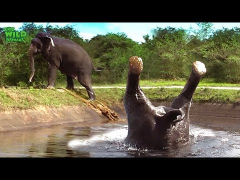 Somersaulting elephant saved from a canal