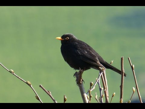 Sounds of Nature Blackbird 1 Hour of the Blackbird's Song