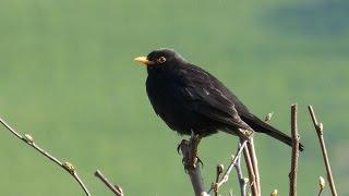 Sounds of Nature Blackbird 1 Hour of the Blackbird