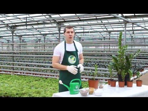 Неприхотливые комнатные растения: Замиокулькас