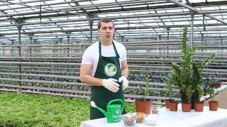 видео Мединилла уход в домашних условиях посадка, полив и удобрения