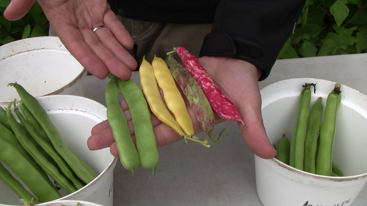 The Different types of Beans - Type and Variety Comparisons