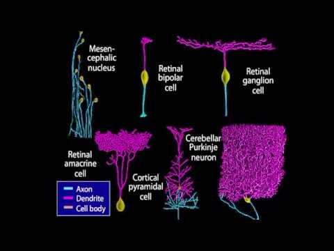 Embryology/Neurology - Neurogenesis [Animation]