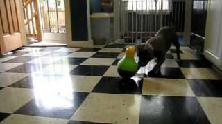 Sadie Vs Food Puzzle (staffordshire Bull Terrier)