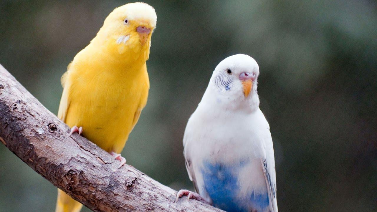 صوت تغريد طيور الحب البادجي Love Birds Sounds Youtube
