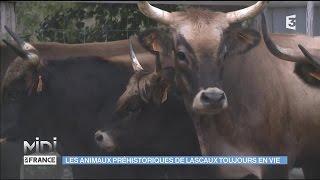 Les Aurochs, des animaux préhistoriques toujours en vie