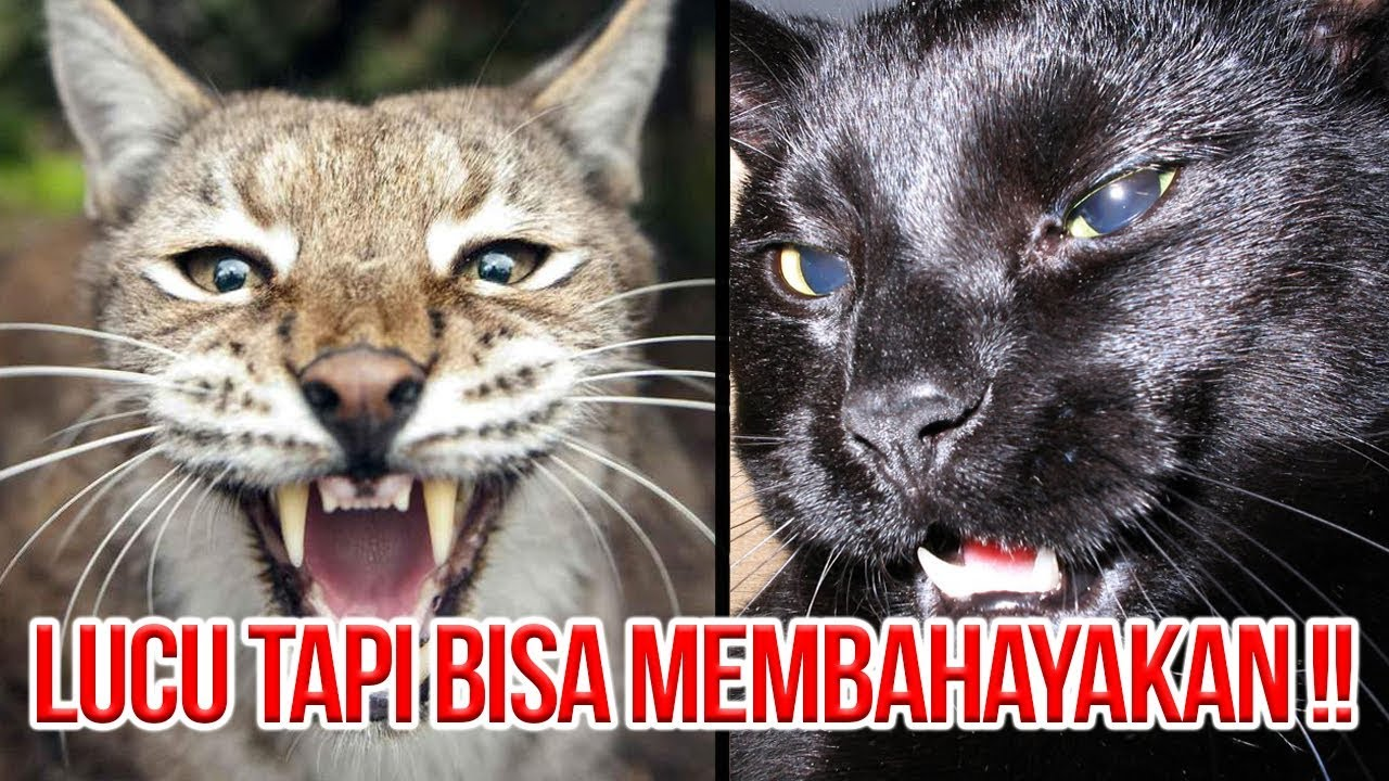 HATI-HATI DIGIGIT!! 5 SPESIES KUCING PELIHARAAN YANG SANGAT BERBAHAYA