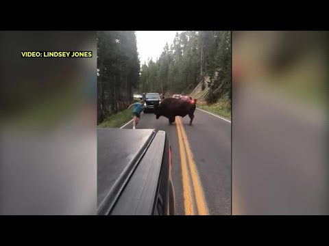 Bison charges dumb tourist at Yellowstone National Park