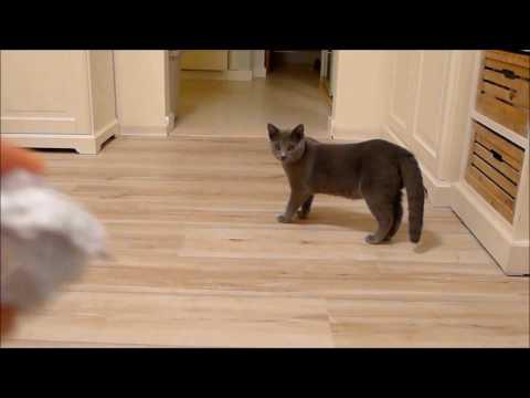 BALBINA kot kartuski 4 m-ce (chartreux cat) - 14. APORTOWANIE-POCZĄTKI...