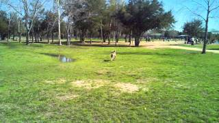 Weimaraner Catching A Giant Stick At The Dog Park