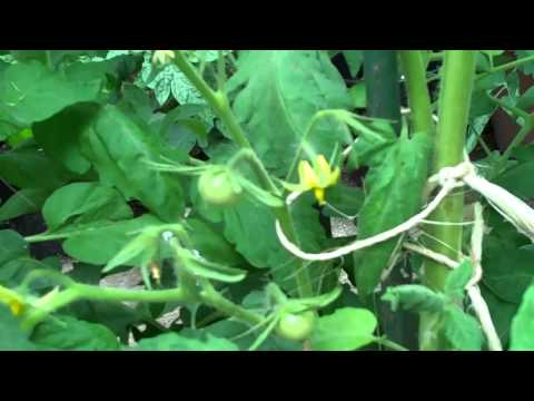 Small Pot  indeterminate tomatoes nctomatoman June 1 2012