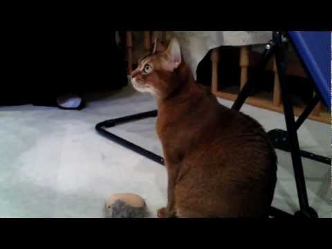 Abyssinian Cat is purring like a bird!