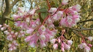 Staphylea holocarpa 'Rosea' video