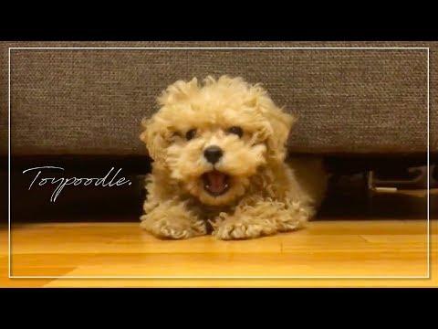 トイプードル(子犬)のわんぱく遊び時間|Toypoodle|푸들 #Toypoodle #Dog #トイプードル