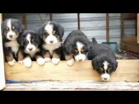 Bernese Mountain Dog Puppies Sale in East South 6th Street, Abilene, TX