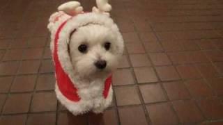 Female Maltese Dog  Momo