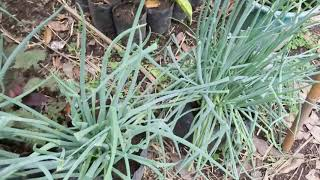 Growing spring onions/sibuyas/ urban gardening ideas