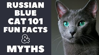 Russian Blue Cats 101 : Fun Facts & Myths