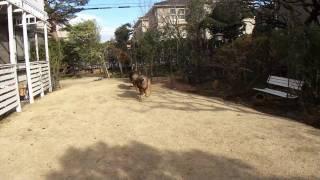 生後10ヶ月のジャーマンシェパード・ケイジくん♪お友達のお庭で散々走り...