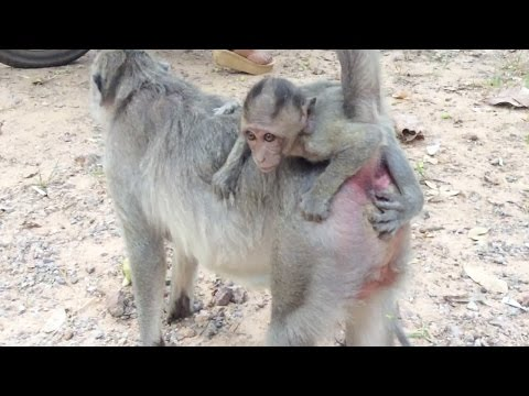 Thumbnail: Baby monkey cry - Why poor baby monkey cry? - Monkey cry - Baby monkey cries - Tube BBC