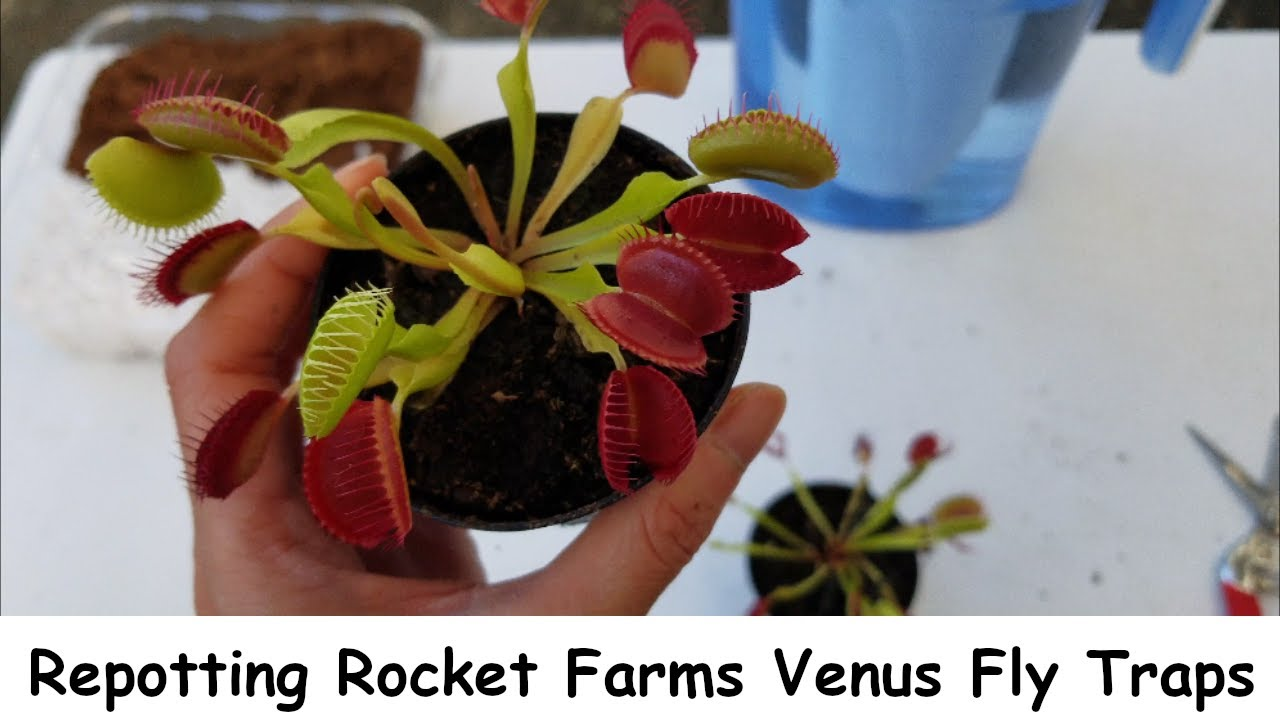 Download Repotting My New Rocket Farms Venus Fly Traps
