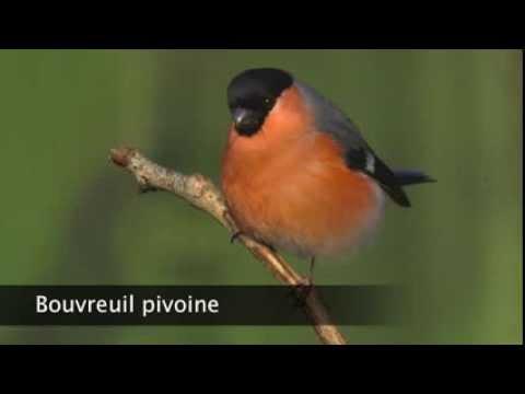 chant du bouvreuil pivoine