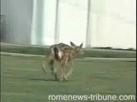 Six Legged Deer found in Rome, Ga