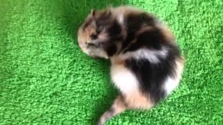 Котенок шотландской породы