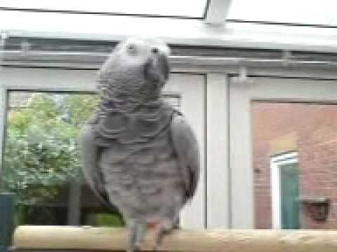 AFRICAN GREY PARROT TALKS AND DOES PHONE SOUNDS