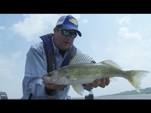Upper Lake Oahe Walleyes