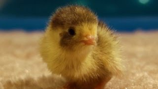 Lonely baby quail chick wants to be held ~ cuteness level 1 billion