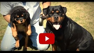 DKV Rottweilers Video Collection | Dakota and Delilah For Sale