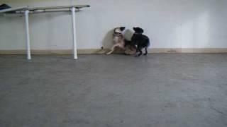 Aussie Shepherd And German Shepherd Mix