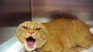 חתול שהופך לטיגריס