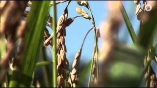Sachgeschichte - Reis
